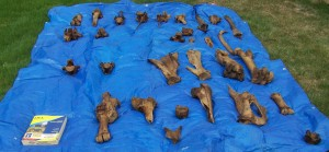 Some of the bones after cleaning